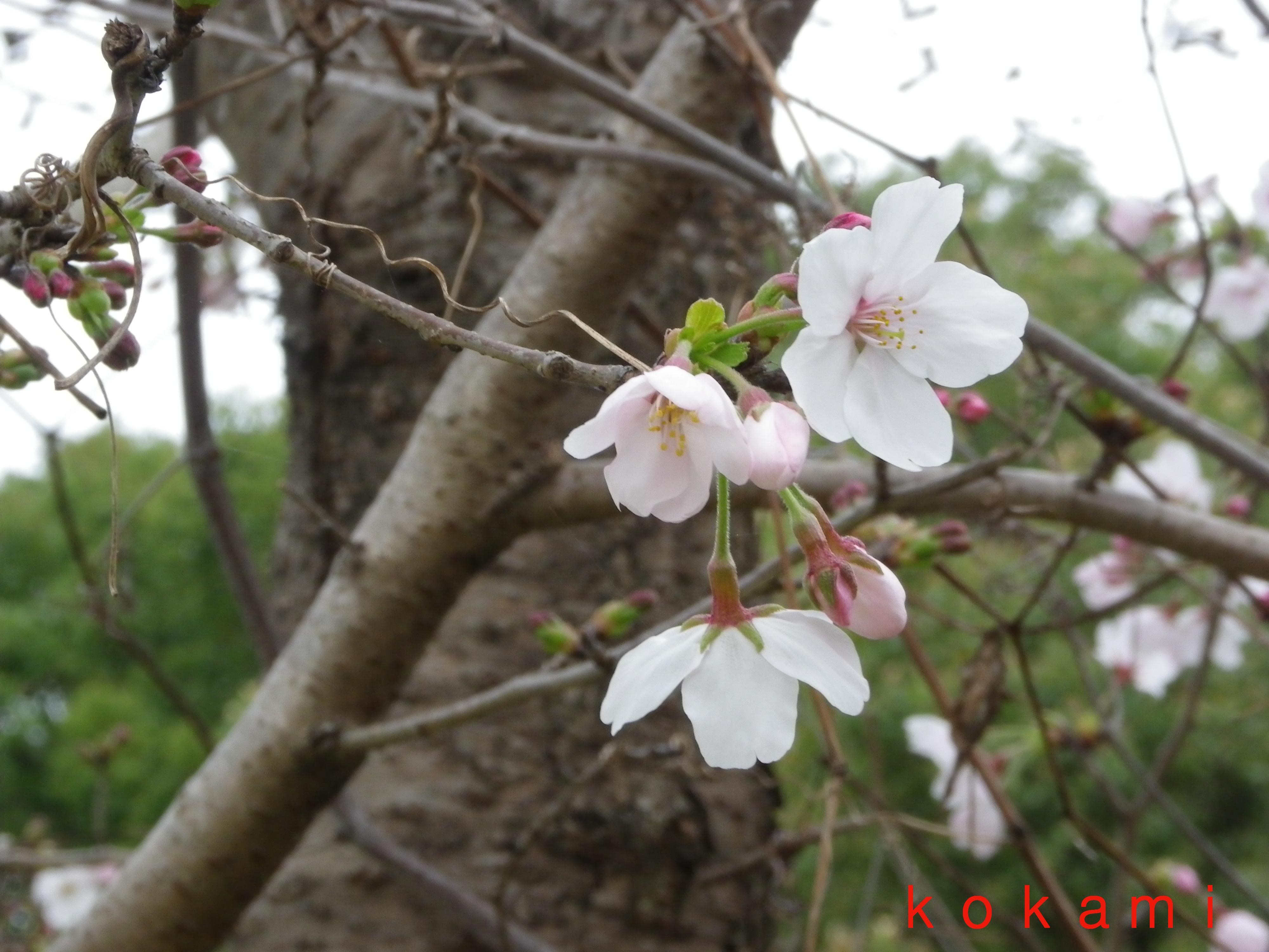 姫路城 桜 外国人