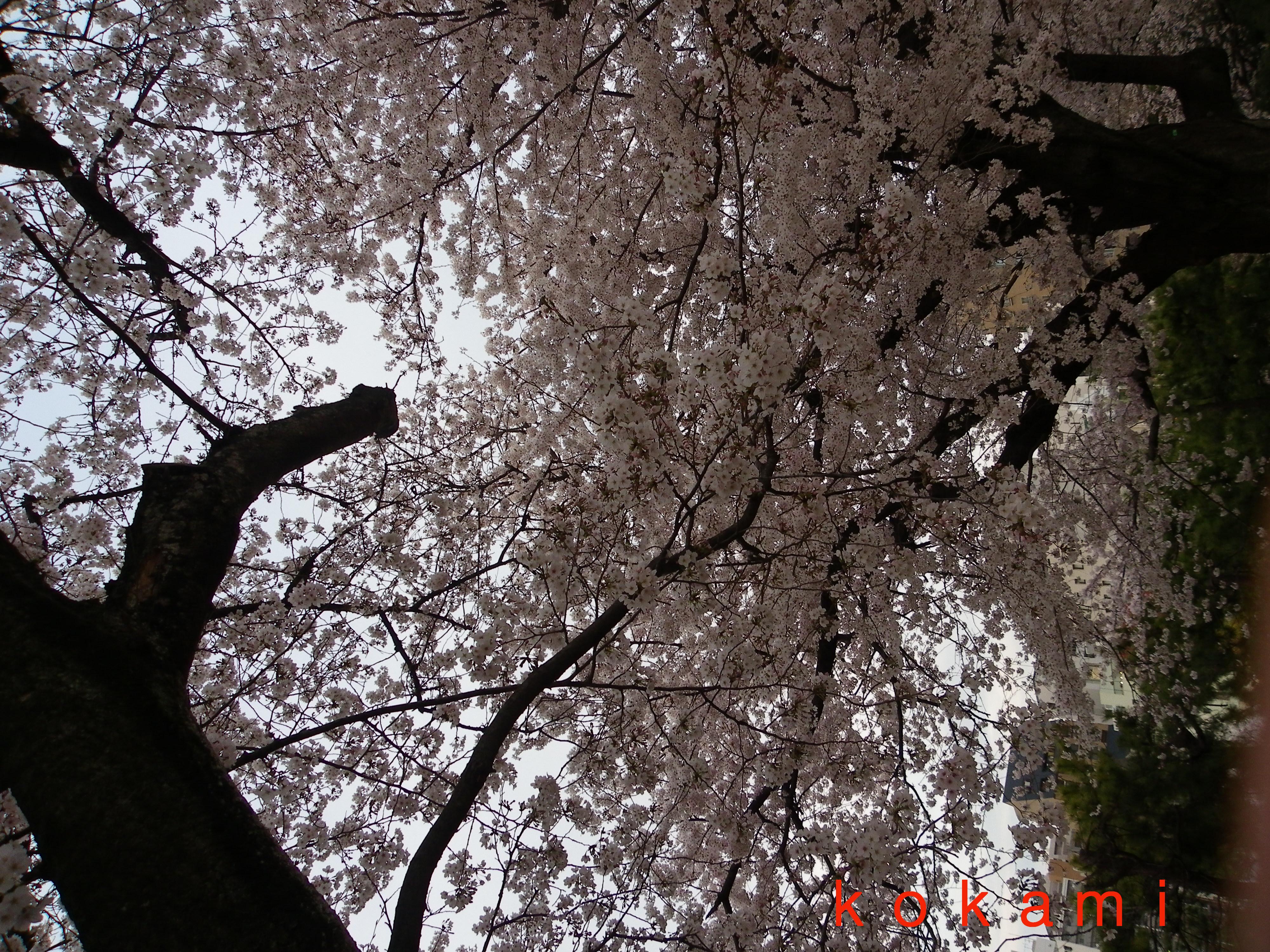 夜桜 スマホ 撮影